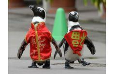 Penguins walk during a Lunar New Year celebration at the Hakkeijima Sea Paradise amusement park in Yokohama, Japan