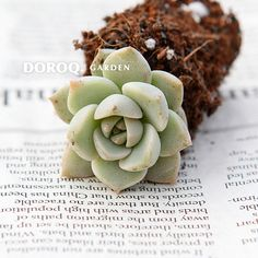 Graptoveria tituban 白牡丹