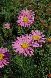 "Daisy Robinson's Pink  18""  Zone 2  Full Sun"