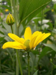 Rudbeckia Maxima  (Garden of Len & Barb Rosen)  ourfairfieldhomeandgarden.com