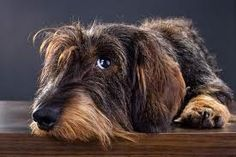 rau haar dackel - I'm pretty sure my dog is mixed with one of these cuties! Fox Terriers, Cute Puppies, Cute Dogs, Dogs And Puppies, Animals And Pets, Cute Animals, Dachshund Love, Daschund, Wire Haired Dachshund