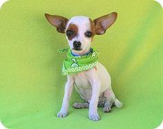 Burbank, CA - Rat Terrier. Meet Kobe, a puppy for adoption. http://www.adoptapet.com/pet/15630845-burbank-california-rat-terrier