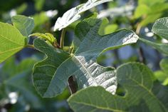 A fügebokrot metszéssel lehet karbantartani, melynek ideje tavasszal érkezik el. Bejegyzésünkben összefoglaltuk a fontosabb tudnivalókat. Plant Leaves, Garden, Plants, Ficus, Leander