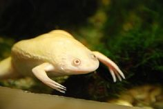Weird Real Animals - African Clawed Frog