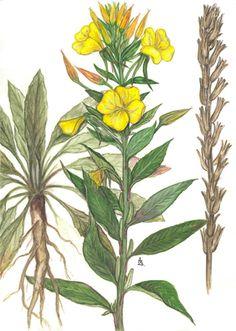 mezei virágok rajz - Google keresés
