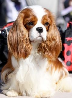 perfectly groomed Cavalier King Charles Spaniel