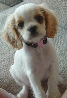 The English Toy Cocker Spaniel is not a purebred dog. It is a cross between the Cocker Spaniel and English Toy Spaniel. Believe this crossbred carries both characters of the two breeds. They definitely looks adorable and sweet. I'd love to have one of this breed as well