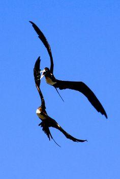Duelling frigate birds.