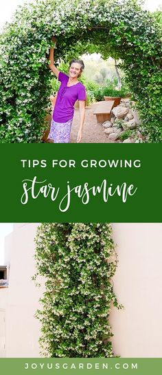 Star Jasmine has glossy foliage and sweetly scented flowers. It's versatile and can be trained in many ways. Here's how to care for and grow Star Jasmine. Climbing Flowers Trellis, Flower Trellis, Vine Trellis, Trellis Fence, Plants For Trellis, Privacy Plants, Outdoor Plants, Outdoor Gardens, Indoor Outdoor