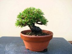 黒松(くろまつ) - 盆栽・ミニ盆栽・苔玉の通販サイト|みくに園