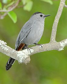 Gray catbird - Dumetella carolinensis - It's raining today, but I see one of these catbirds preening in our dogwood tree.