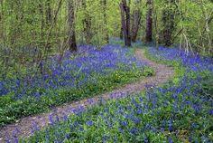 The Fragrant Bluebell Woods of Dorset | Dorset Magazine