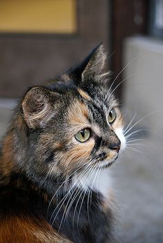 Introducing Cally - beautiful Calico!