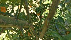 Púas de los mandarinos. Hay que tener mucho cuidado al recoletectar las mandarinas Gold Nugget de Naranjas Miguelito. www.naranjasmiguelito.com