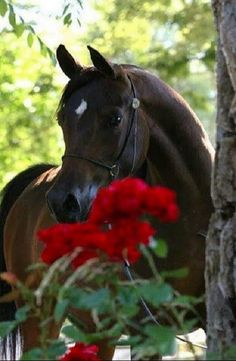 Beautiful Arabian Horse>Simply Horses