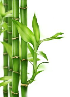 You should certainly know how you can protect yourself and take some precautions, by knowing these 5 invasive plants and shrubs that you should not plant. Bamboo Light, Bamboo Art, Bamboo Plants, Feng Shui, Deco Zen, Leaf Photography, Photography Flowers, Bamboo Tattoo, Invasive Plants
