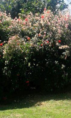Jardin de amapolas