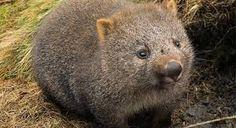 Afbeeldingsresultaat voor wombat