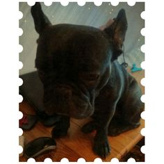 Moj kochanie bulldog :-)