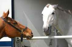 Why is My Horse So Grumpy? - TheHorse.com | Why does my horse pin her ears all the time, but she doesn't kick or bite and seems to like attention? Dr. Sue McDonnell answers. #horses #behavior