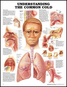 Understanding The Common Cold (Laminated) - CTValley Bio