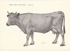 Vintage Cow and Bull Side View Illustration Book by niminsshop, $8.00