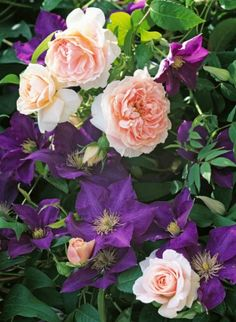 Clematis 'The President' and 'A Shropshire Lad' rose, uncredited