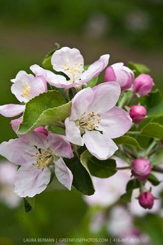 and white apple blossoms on apple trees in an apple orchard in spring.Pink and white apple blossoms on apple trees in an apple orchard in spring. Apple Tree Blossoms, Apple Blossom Flower, Apple Flowers, Blossom Trees, Spring Blossom, Ikebana, Exotic Flowers, Beautiful Flowers, Baumgarten