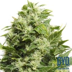 Big Buddha LA Cheese Feminised Weed Seeds: With parents like the L.A. Confidential you aren't going to struggle in life, and this plant makes it to the top time after time. Solid buds crammed with indica-dominant goodness and a mind-blowing flowering time of 55 days make this a real treat for the connoisseurs.
