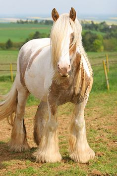 Absolutely beautiful Pinto Gypsy Cob mare named Gleann. - Horse Breed