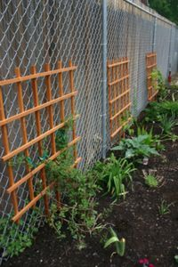 how to plant vines to cover chain link fences