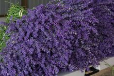 The largest lavender farm in Wisconsin is so beautiful and fragrant, and you definitely don't want to miss it. This is the best springtime day trip. Towns In Wisconsin, Door County Wisconsin, Washington Island, Vacation Spots, Good Things, Flowers, Beautiful, Lavender Plants, Draw