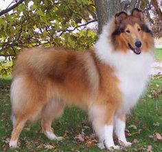 ***Collie - can live anywhere; very healthy; brush constantly but smooth coats are easy; easily trained; love and naturally protect children
