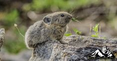 American pikas are often heard before they are seen. They make calls and sing to define and protect their territory, alert others to the presence of dangers, and attract mates. The call sounds like the bleat of lamb, but more high-pitched and squeaky. Wildlife Conservation, Hamsters, Sounds Like, Wildlife Photography, Lamb, Singing, American, Nature, Naturaleza