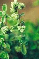 Dossier sur l'huile essentielle Marjolaine à coquilles - Origanum majorana - Propriétés, utilisations, recettes santé et bien-être.