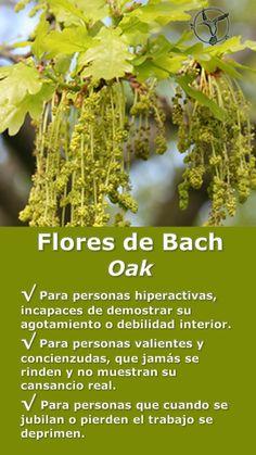 #flores #de #bach #hiperactividad #agotamiento #cansancio #depresion #oak #terapia #terapias #alternativas #remedios #infografia #ilustraciones #beneficios #propiedades #informacion