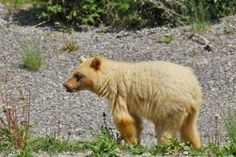 White-phase black bear spotted in Kananaskis Country Black Bear, Brown Bear, Country Videos, Watch News, Top Photo, Photo Galleries, Pictures, Photos, Animals