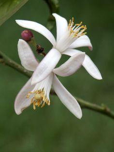 Profumo: fiori bianchi di agrumi #bouquet #white #citrus #flower #profumo #fiori #bianchi #agrumi