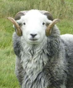 Help with the land and keeping Herdwick sheep in a village in the Yorkshire Dales Animals And Pets, Baby Animals, Cute Animals, Wild Animals, Feed My Sheep, Sheep Tattoo, Sheep Face, Sheep Breeds, Sheep And Lamb