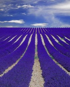 fields of lavender in provence france Search Results