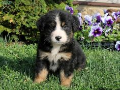 Tasha, Bernese Mountain Dog mix puppy for sale from Delta, PA