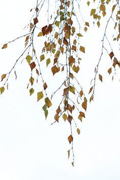 branches of birch