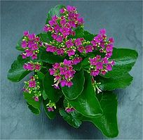 56 best plant gifts for mothers day images on pinterest in 2018 kalanchoes are easy care flowering succulents that do extremely well indoors or outdoors a relative mightylinksfo