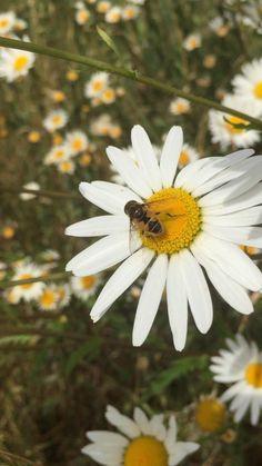 #bees #daisy #naturephotography #wildlifephotography #beekeeping #wildflowers #meadow #honeybees