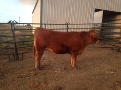 Purebred yearling Limousin heifer.