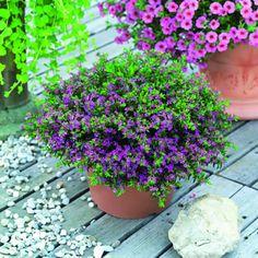 Evergreen Flowering Shrubs, Dwarf, Mexican, Garden, Plants, App, House, Ideas, Garten