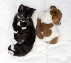 kitten and jack russel puppy best friends for ever
