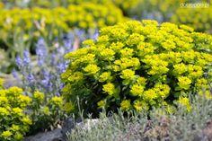 Euphorbia polychroma - Cerca con Google