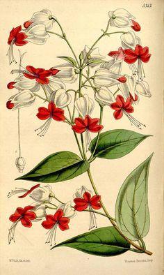 2309 Clerodendrum thomsoniae Balf.f. / Curtis's Botanical Magazine, vol. 88 [ser. 3, vol. 18]: t. 5313 (1862) [W.H. Fitch]