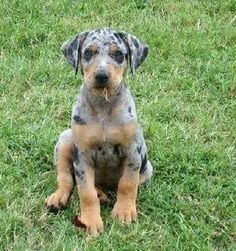 Catahoula leopard puppy! If I ever get a dog it will be this one!